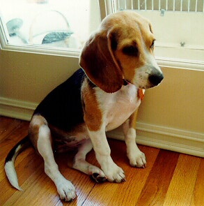 Susans home page other cute beaglesnot as cute as sandy voltagebd Gallery